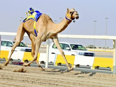 Photo of منافسات قوية للثنايا في السباق المحلي الرابع للهجن