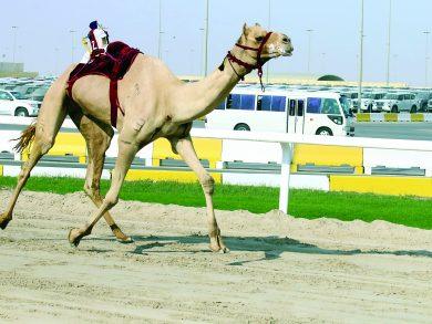 Photo of اختتام منافسات السباق المحلي الخامس للهجن