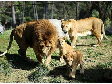 Photo of إصابة ثمانية أسود في حديقة حيوان هندية بكورونا