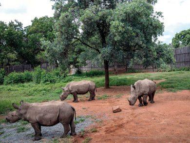 Photo of «ملجأ» لحماية صغار وحيد القرن