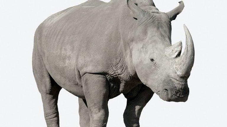 Photo of وفاة وحيد القرن الأطول عمراً في العالم