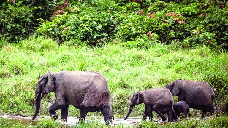 Photo of زراعة الأفوكادو تهدد أفيال كينيا بالانقراض