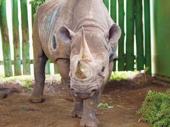 Photo of نفوق أكبر أنثى وحيد قرن في العالم