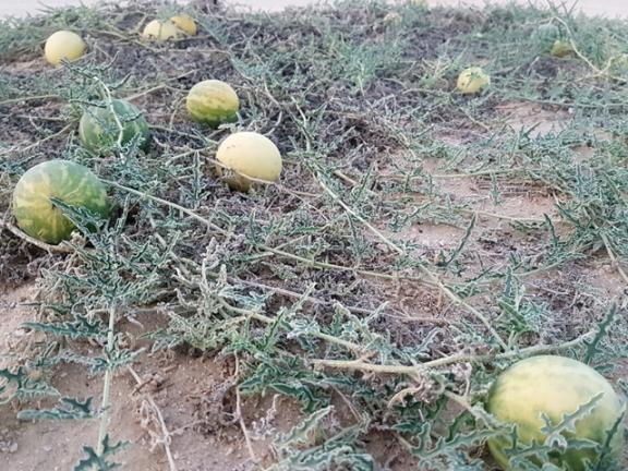 Photo of تحذيرات من الإفراط في التداوي بالحنظل