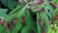 Photo of الأمريكيون يستعدون لغزو حشرات «الزيز»