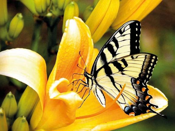 Photo of الفراشات الملكية على حافة الانقراض
