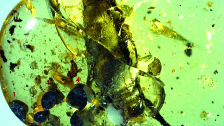 Photo of العثور على قطعة كهرمان عمرها 99 مليون عام
