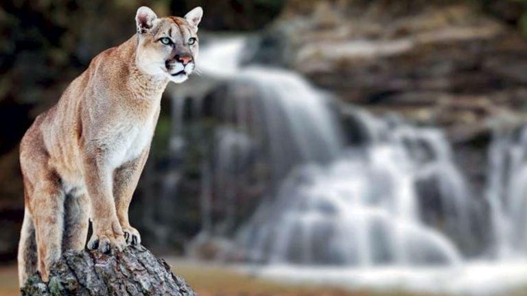 Photo of قائمة أكبر 9 قطط مفترسة في العالم