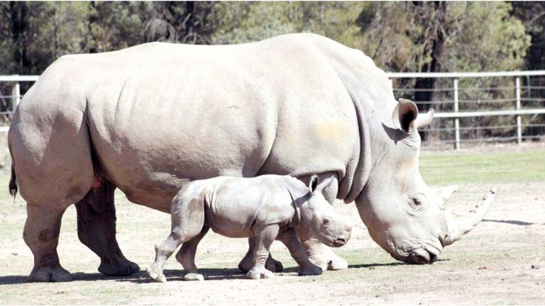 Photo of ولادة أنثى وحيد قرن بيضاء نادرة