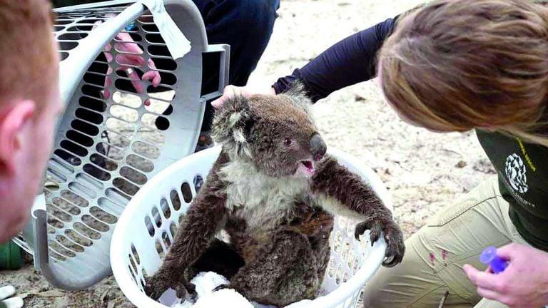 Photo of تراجع سريع لأعداد الكوالا في أستراليا
