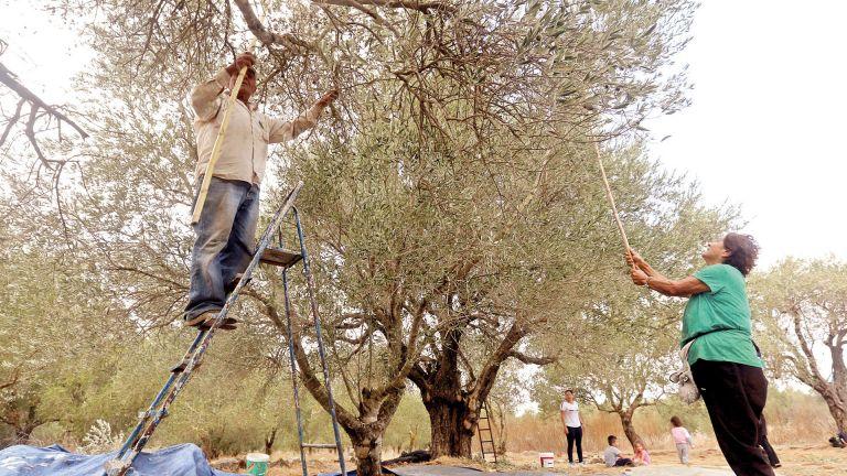 Photo of زيت الزيتون في لبنان .. ضحية أزمات عديدة