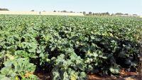 Photo of وعود البلدية والتجارة لحماية المزارعين «مواعيد عرقوب»