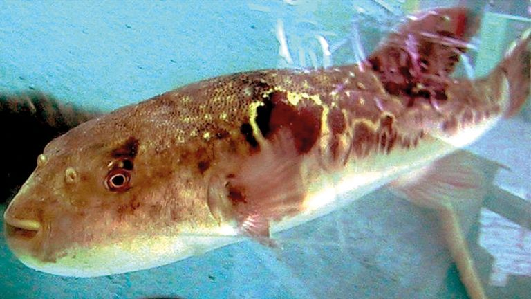 Photo of سمكة أرنب بحري كادت تفتك بصياد وأسرته في غزة